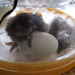 Brinsea Mini Eco Hatching Egg chick