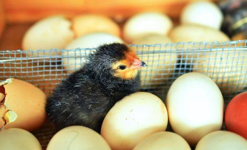 incubator-hatching-process-chick